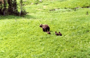 Job Seekers-Grizzly-sow-and-3-cubs