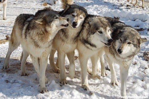 About Wolves – Part II