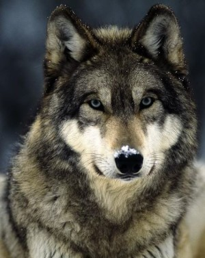 About Wolves – Part I